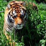 Tiger in the Field